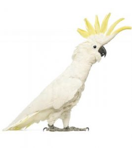 cockatoo-parrot