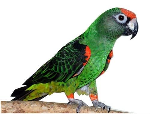 Конголезский длиннокрылый попугай