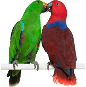 попугаи Эклектус