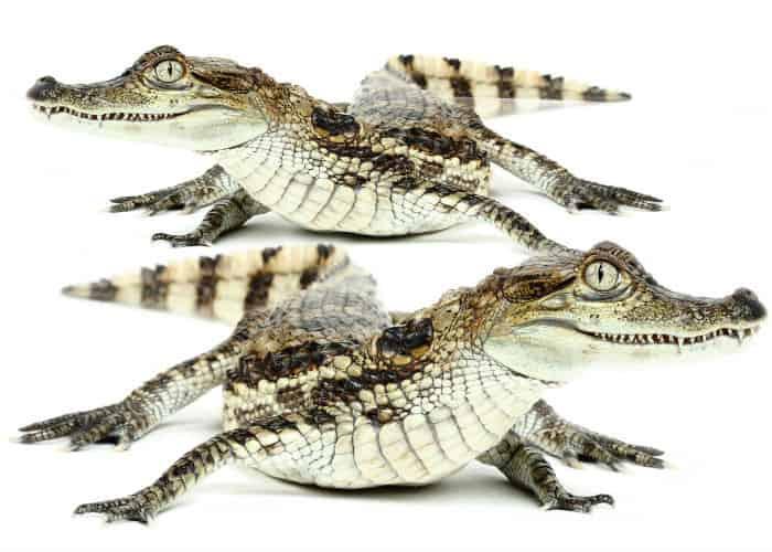 krokodily_kajmany