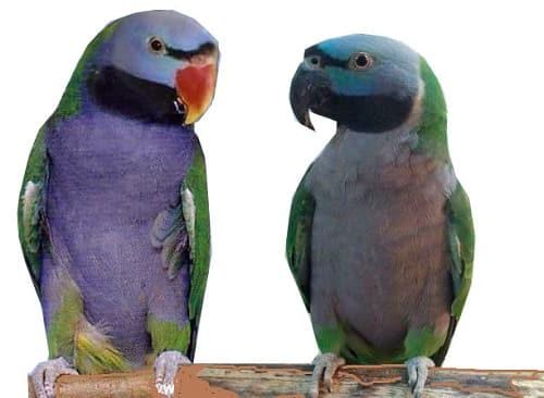 китайские кольчатые попугаи