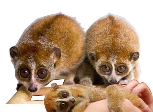 lemur-lori-maly