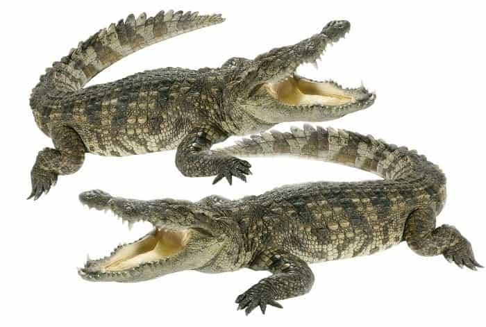nilskie_krokodily