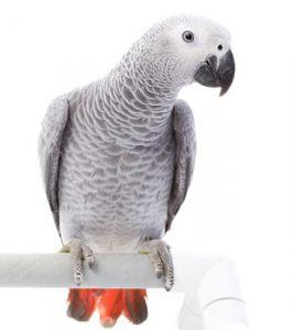 жако серые попугаи
