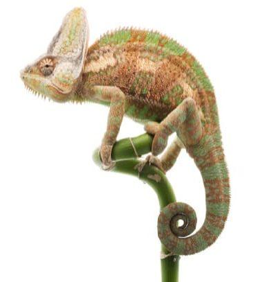 хамелеон йеменский