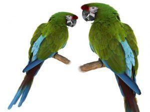 птенцы попугаев Ара севера