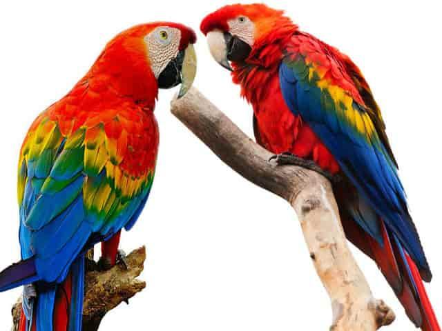 крупные попугаи Крaсный Арa или Ара Мaкao