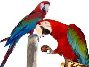 попугаи Ара зеленокрылый