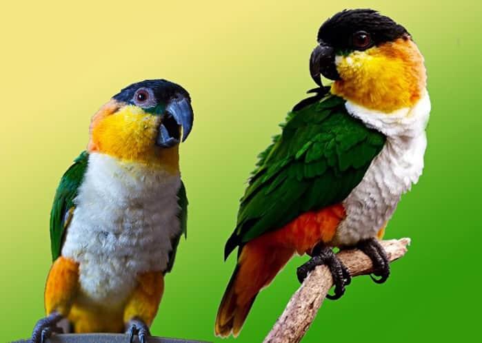 попугаи каики или черношапочные