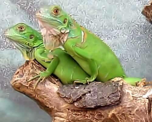 Игуаны зеленые