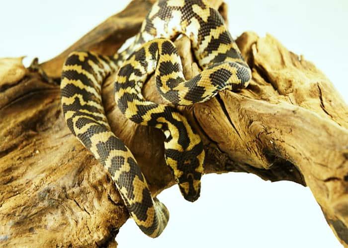 Ложноногие или удавообразные змеи