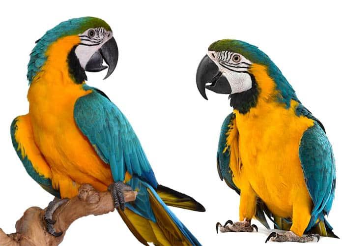 попугаи Ара сине-желтые