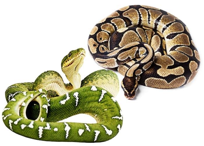удавообразные змеи