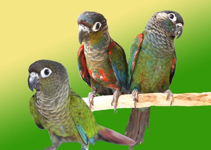 попугаи пиррура